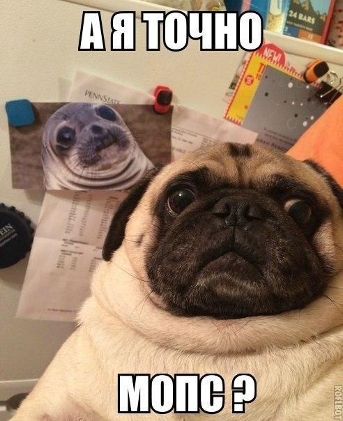 3 май 2015. Мопс | мопсы | смешные мопсы | самые смешные мопсы | смешные мопсы видео | смешные животные | смешные собаки | смешное видео про собак есть желание помочь на.