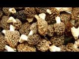 Сморчок гриб, съедобные грибы, еда и кухня со вкусом!