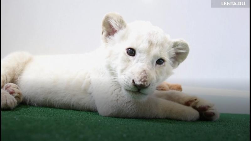 Новорожденный белый львенок