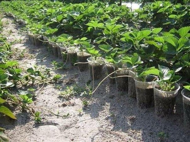 как набрать посадочный материал земляники со своих кустов и в какие сроки его высаживать земляника – многолетнее растение, скороплодное, хорошо размножается вегетативно.если соблюсти правила