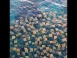 Стая скатов бычерылов на пляже Бонди-Бич в Австралии 16.05.2019