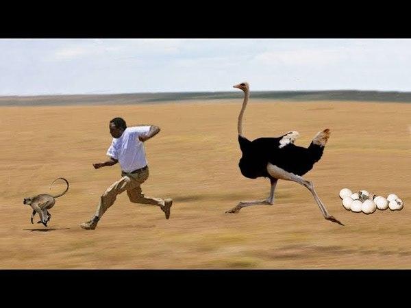 Удивительный страус спас ее яйца от обезьян и мужчин ворует самый гепард охоты