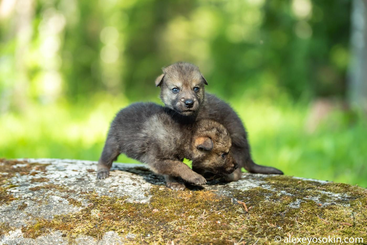 RMC0EcAAEzA - Фото новорожденных волчат