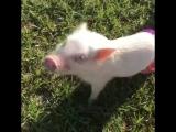 Свинки охлаждаются
