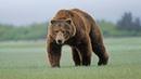 Медведи (рассказывает биолог Михаил Кречмар)