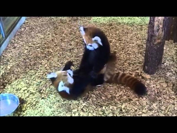 Squeaking Red Panda cubs 2