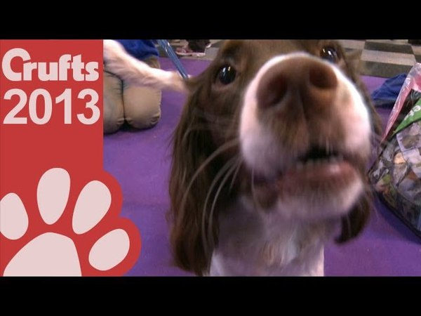 Springer Spaniel Breed Rescue Crufts 2013