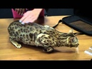 Первородное разведение кошек если нет родословной