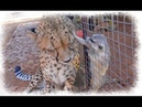 Прикол! Сурикат играет с гепардом