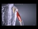 Мышцы и фасции плеча и пояса верхней конечности_ строение, функции, кровоснабжен