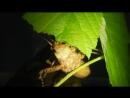 Мексиканский кузнечик кушает листик