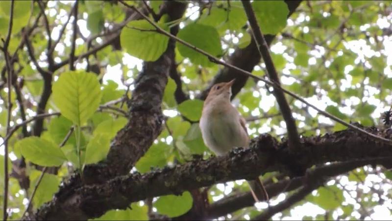 Соловей поет редкий кадр Nightingale song Nightingales singinig