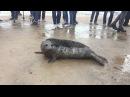 Тюлень ругается