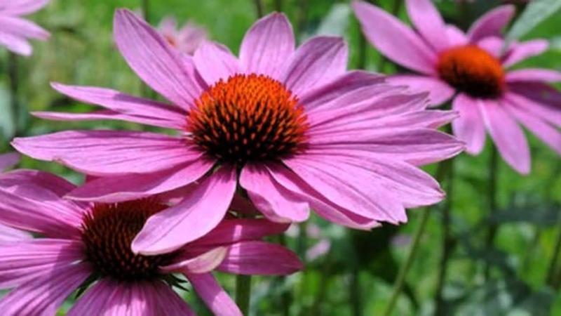 Эхинацея пурпурная. Лекарственные травы