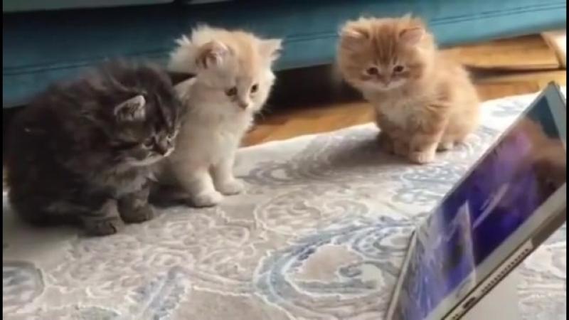 Pür Dikkat Şirinler İzleyen Yavru Kediler İzlesene.com.mp4