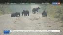 Новости на Россия 24 В Хабаровском крае медведи съели тонну рыбы которая высыпалась из грузовика