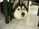 Собака выросла с котами спустя 2 года владелец заметил некую странность с её лапами