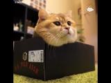 Хосико и коробки - Hosico the cat