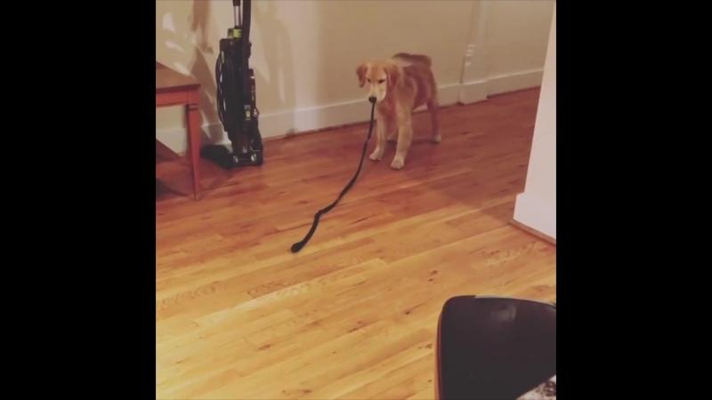 Собакена преследует поводок!