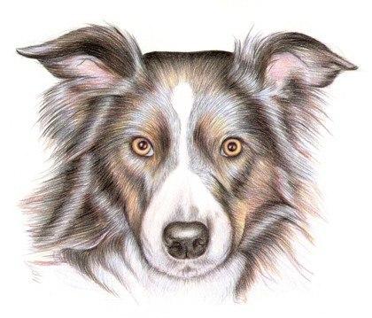 Рисуем собаку цветными карандашами (6 фото) - картинка