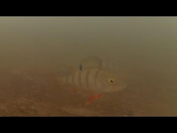 Балансир или блесна? Подводные съемки. Perch Fishing Underwater.
