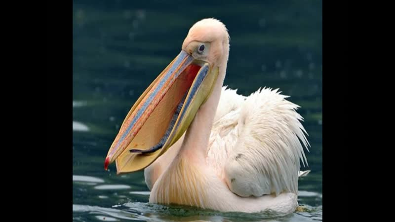 Глоба П.П. Розовый пеликан (22-й градус Рака)
