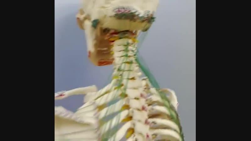 Анатомические поезда 2. Глубокая миофасциальная линия рук.