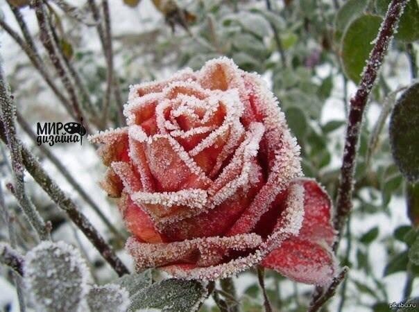 Замерзшая роза. (1 фото)