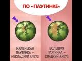 Карбыз-Арбуз