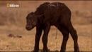 Львы Африки. Дикие животные. Мир природы. Документальный фильм.