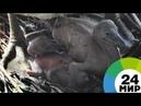 В Московском зоопарке родились два птенца кудрявого пеликана МИР 24