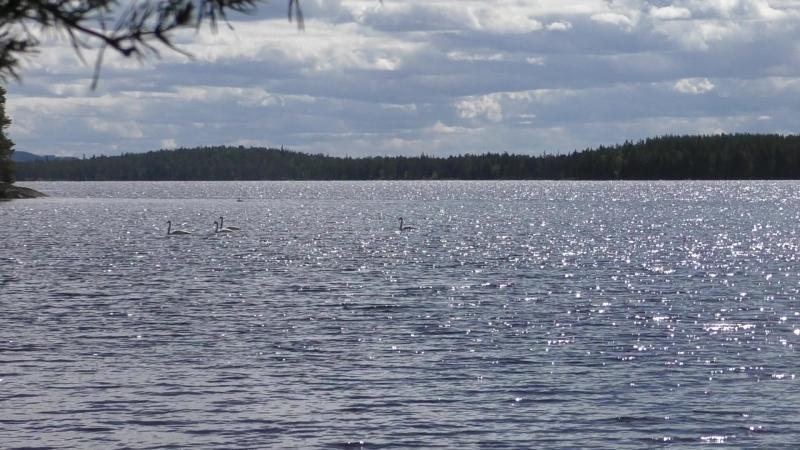 В Мелкой поселились лебеди.