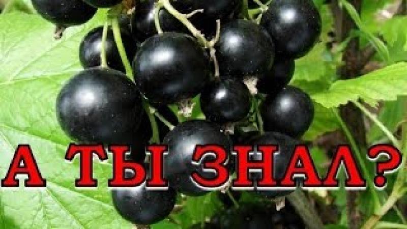 7 Секретов плодородия смородины