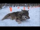 СПАСЕНИЕ ВОЛКОВ ПОПАВШИХ В ЛОВУШКУ RESCUE WOLF COMPILATION