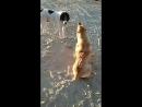 собачьи бои !