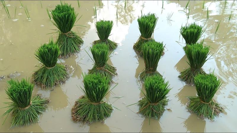 Primitive Skills How to grow rice