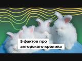 5 фактов про ангорского кролика