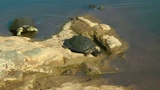 SOUTH AFRICA curious hinged terrapin, Kruger nat. park (hd-video)