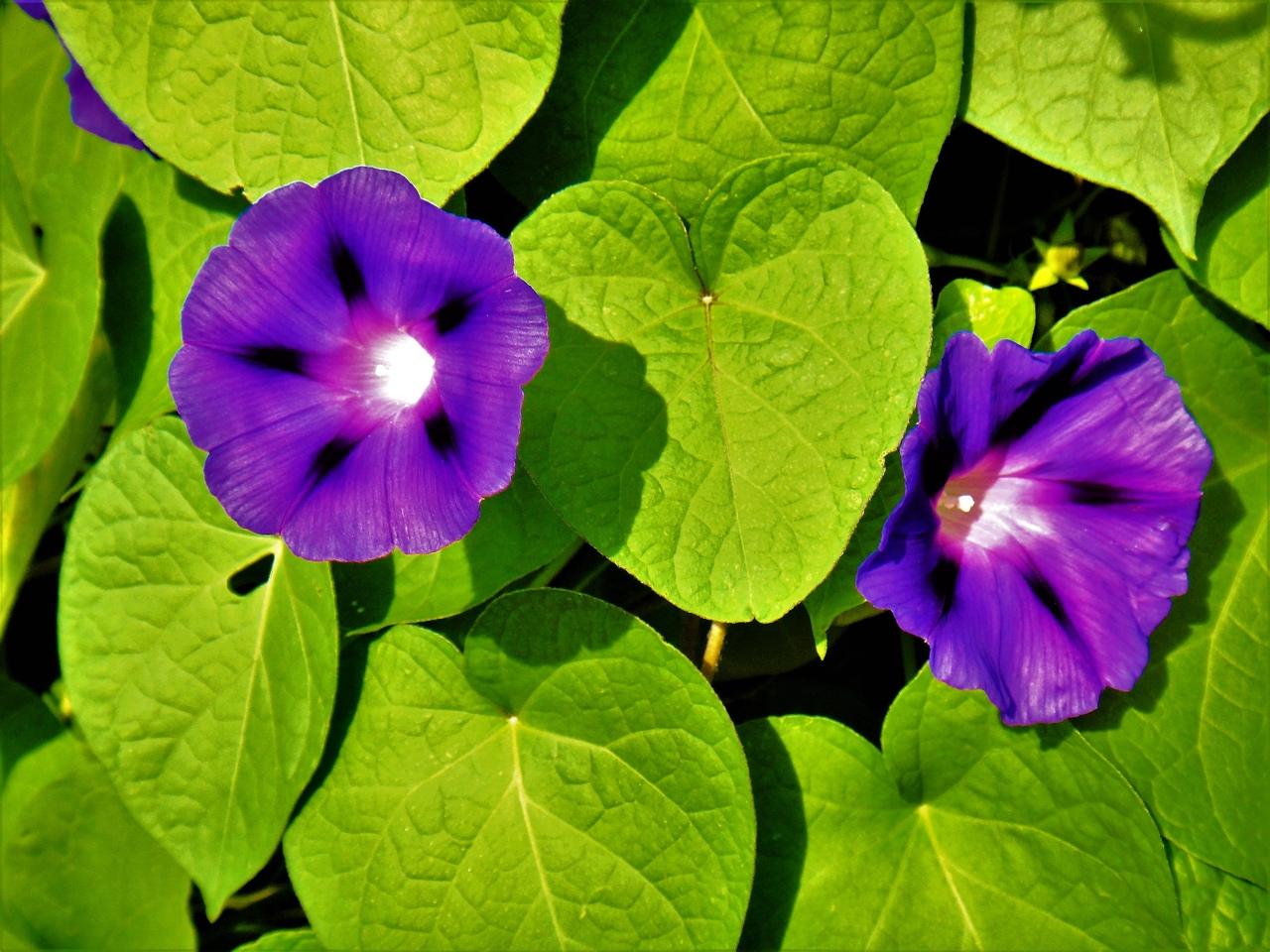 Фото для вас бесплатно / Photo is free for you, p_i_r_a_n_y_a - Фиолетовый вьюнок
