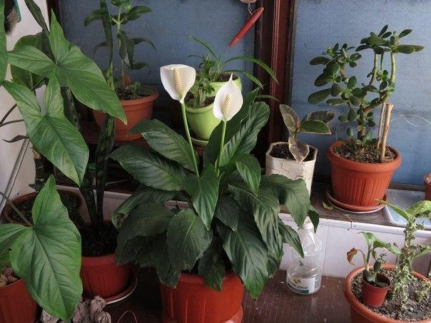 10 натуральных удобрений для домашних цветов Цветы — что может быть прекраснее? Цветы — что может быть прекраснее? Поэтому мы выращиваем их не только на своих садовых участках, но и дома. Следует уделить особое внимание натуральным подкормкам, без которых вырастить здоровые, красивые, пышно цветущие растения проблематично. 1. Сахар Пожалуй, самым популярным натуральным удобрением, применяемым для подкормки комнатных цветов, является обыкновенный сахар. Да-да, именно сахар, вам не показалось.…