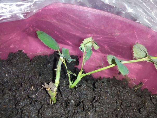 уважаемые подписчики, помогите,я уже совсем отчаялась. купили розу в магазине, когда листья стали опадать,я сразу обрезала бутоны и все лишнее,пересадила в хорошую землю.эти стволики