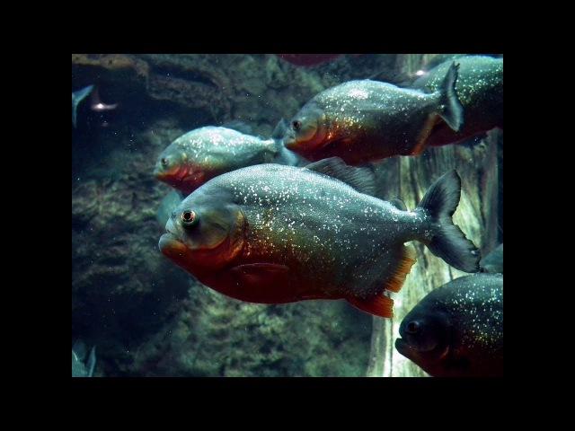 Самые Агрессивные Аквариумные Рыбки. Пираньи Нервно Курят