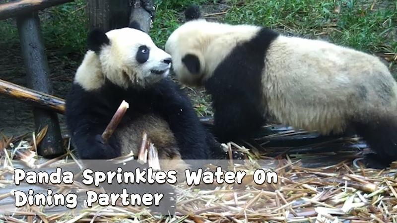 Panda Sprinkles Water On Dining Partner | iPanda