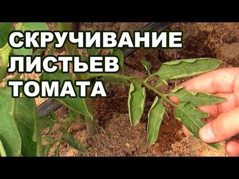 Почему скручиваются нижние листья у помидоров томата 19 08 2018