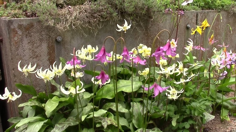 Bulb Log video diary supplement - Erythronium in small plunge