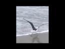 Жадная чайка проглотила детеныша акулы целиком