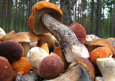 Что приготовить из свежих грибов Вместо того, чтобы тратить много времени и сил на приготовление домашних заготовок из грибов на зиму, можно побаловать себя и своих домашних оригинальными блюдами из свежих грибов – благо рецептов, не требующих каких-то дорогостоящих или сложных ингредиентов, множество. Икра, соусы, подливки, рагу, наконец, просто жареные грибы – если сезон позволяет, то меню можно разнообразить до бесконечности.