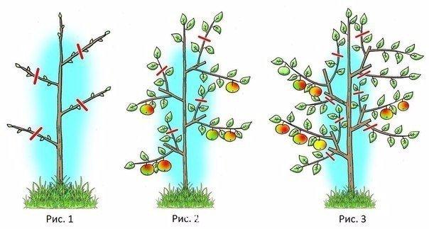 Колоновидные яблони : обрезать или нет