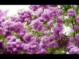 ВИА Норок Молодость-цветок (Tinerete-Floare)