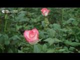 Как выращивают цветы к 8 Марта в Москве